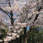 高崎市桜前撮り和装ロケーションフォト